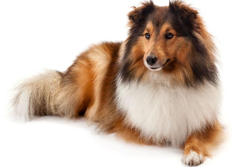 cão pastor de shetland