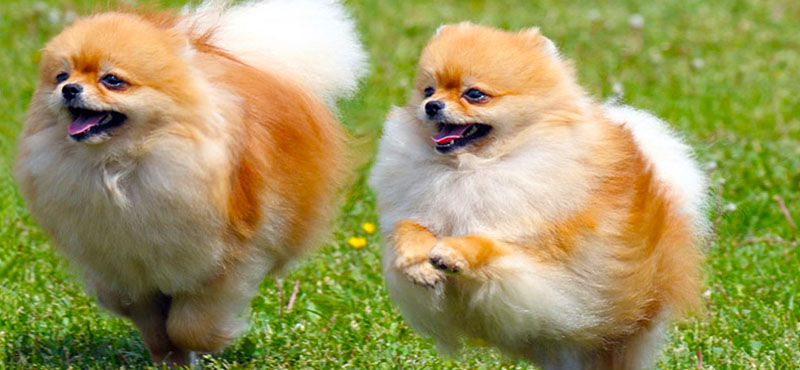 28 Fluffy Dog Breeds Big And Small Breeds Playbarkrun