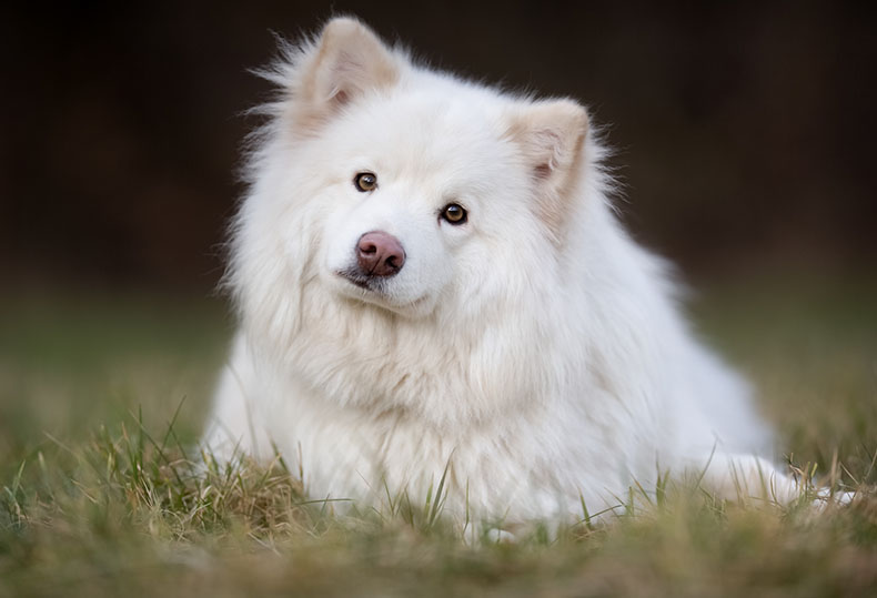Lapphund finlandês