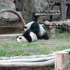 Crop 100 panda cmz 1