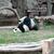 Crop 50 panda cmz 1