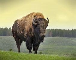 Episode 88: Bison Bison Bison