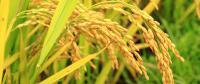 Golden rice myths