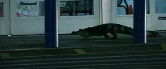 alligator, terrorizes, florida, wal-mart,