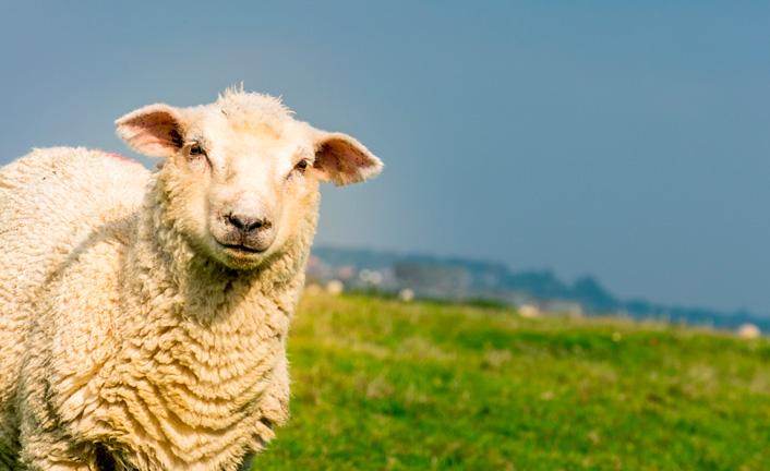 A primeira ovelha