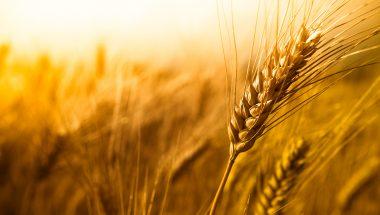 Joio e trigo