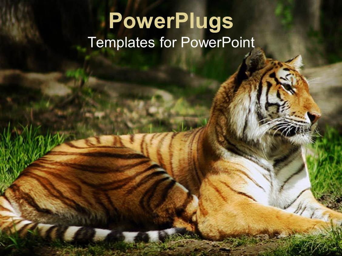 Powerpoint template close up of eye and face of stripped tiger 1806 elegant slide set enhanced with laying siberian tiger on the ground with green grass in jungle toneelgroepblik Gallery