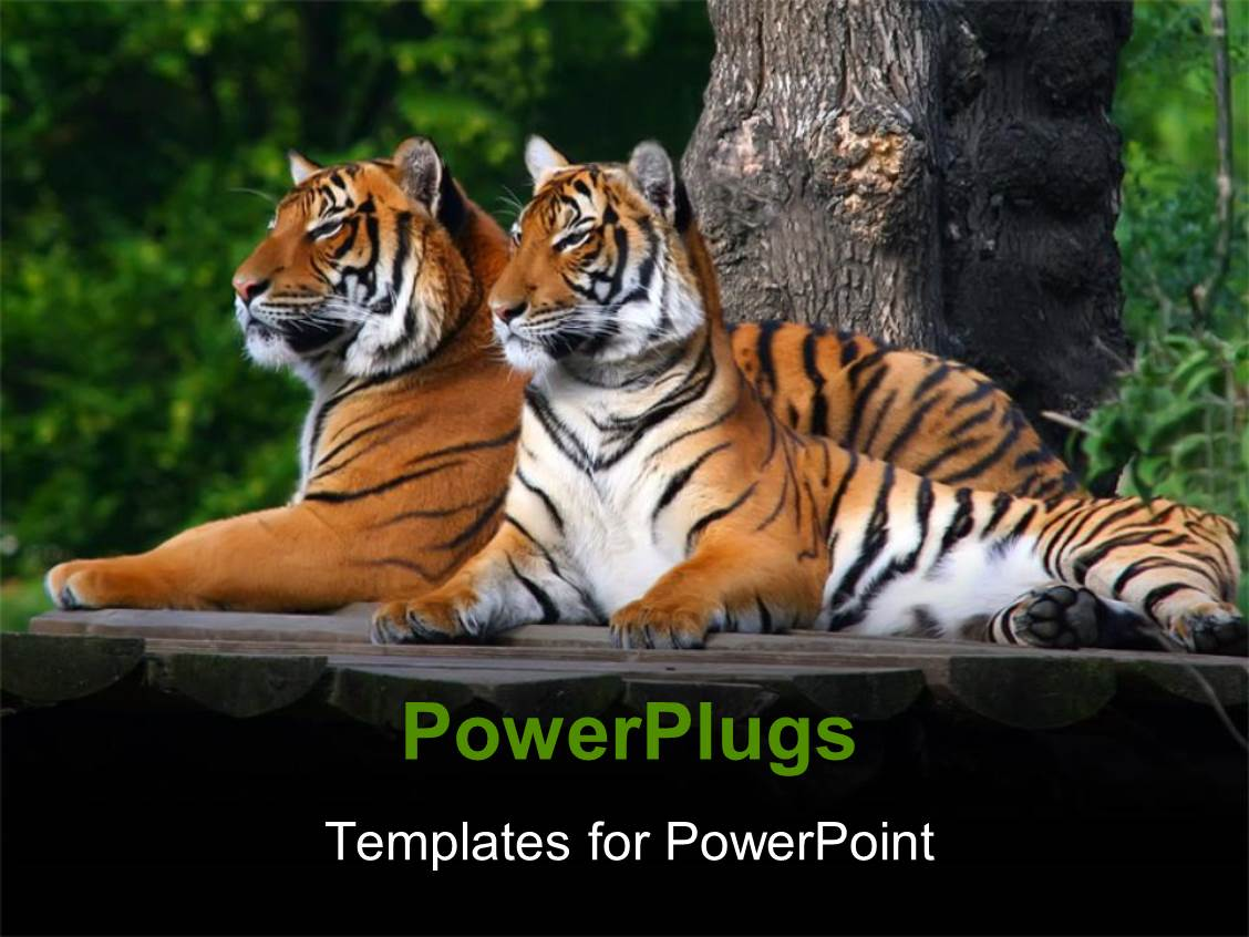 Zoo powerpoint templates ppt themes with zoo backgrounds ppt layouts consisting of two tigers sitting on wooden surface with thick forest in background template size toneelgroepblik Choice Image
