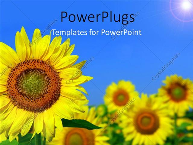 PowerPoint Template Displaying Beautiful Field of Sunflower with Light Glow in Blue Sky