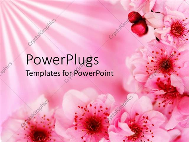 Powerpoint Template Beautiful Pink Blossoming Cherry Flowers On