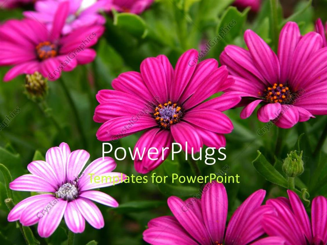 Powerpoint template beautiful purple daisy flowers blossom with powerpoint template displaying beautiful purple daisy flowers blossom with green leaves izmirmasajfo