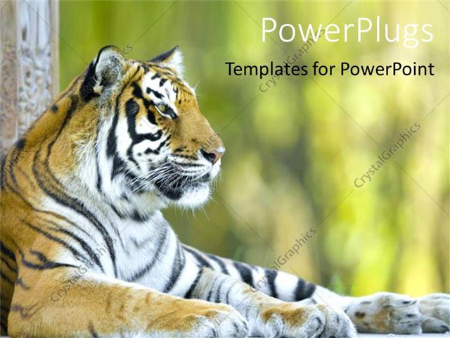 Powerpoint template beautiful tiger resting tiger at a zoo close powerpoint template displaying beautiful tiger resting tiger at a zoo close up of tiger head with body toneelgroepblik