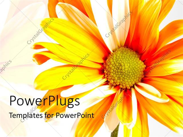 PowerPoint Template Displaying Bright Orange Sunflower Over White Background