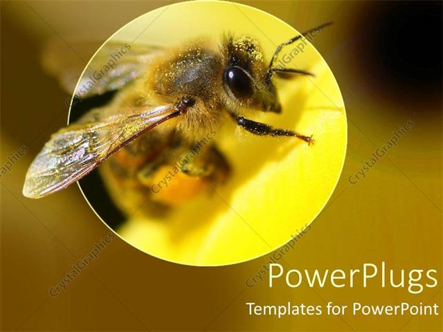 Powerpoint Template A Bumble Bee Magnified In A Yellowish View With