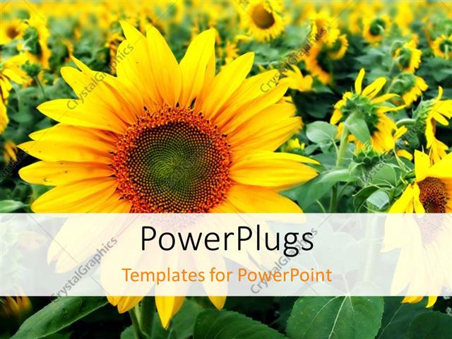 PowerPoint Template Displaying Close-up of Beautiful Sunflower in Flower Field