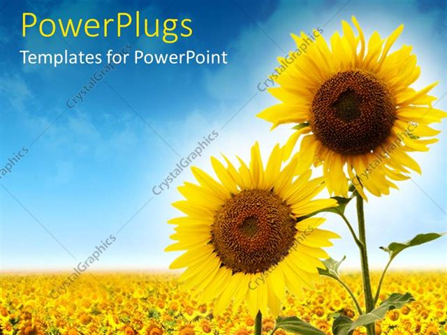 PowerPoint Template Displaying Close Up of Two Sunflowers Against a Field of Sunflowers and Blue Sky