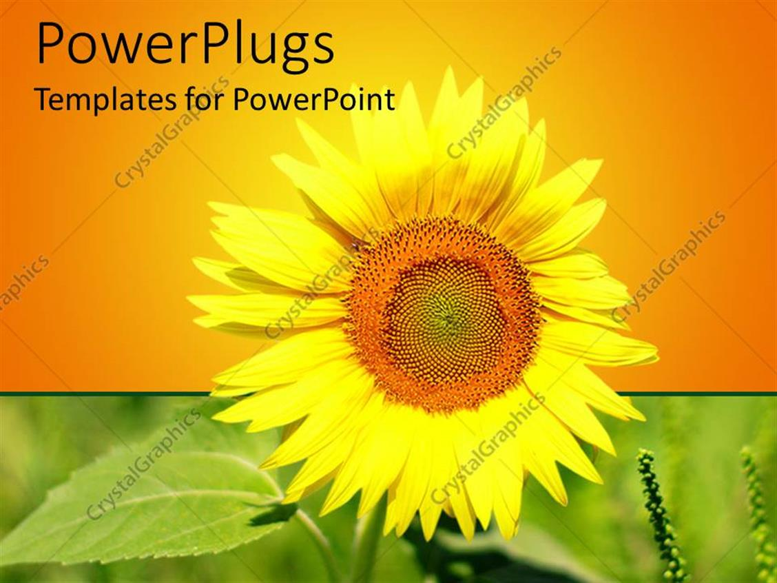 PowerPoint Template Displaying Close Up of Yellow Sunflower on Green Field and Yellow to Orange Background