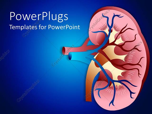 Powerpoint template design of sectioned kidney with veins on dark powerpoint template displaying design of sectioned kidney with veins on dark blue background toneelgroepblik