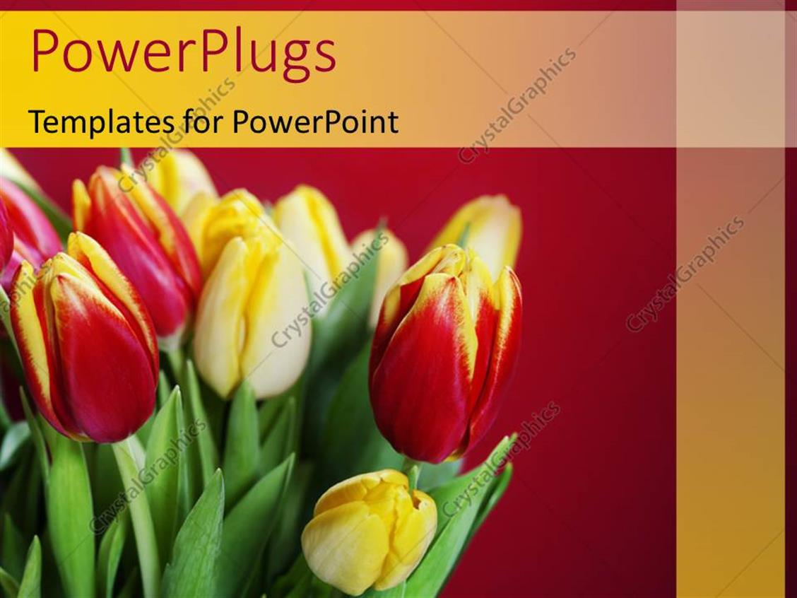 PowerPoint Template Displaying Fresh Red and Yellow Tulips in Bouquet Over Red Background