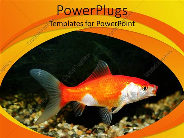 PowerPoint Template Displaying a Goldfish with Black Background and Place for Text