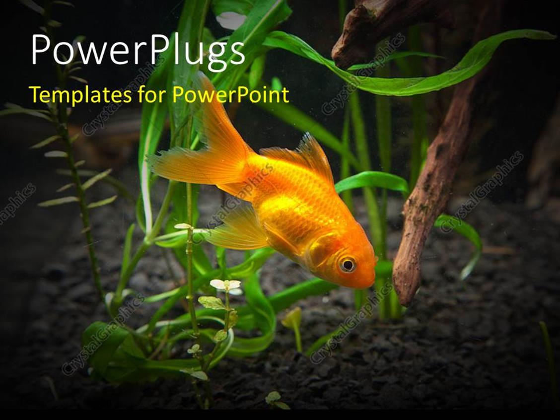 PowerPoint Template: a goldfish in the sea with clear background (14570)