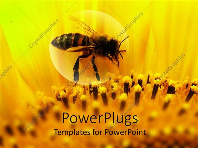 Powerpoint Template Honeybee Sitting On A Sunflower Zoomed In 16507