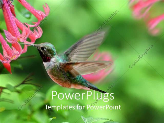 PowerPoint Template Displaying a Hummingbird Feeding on a Flower