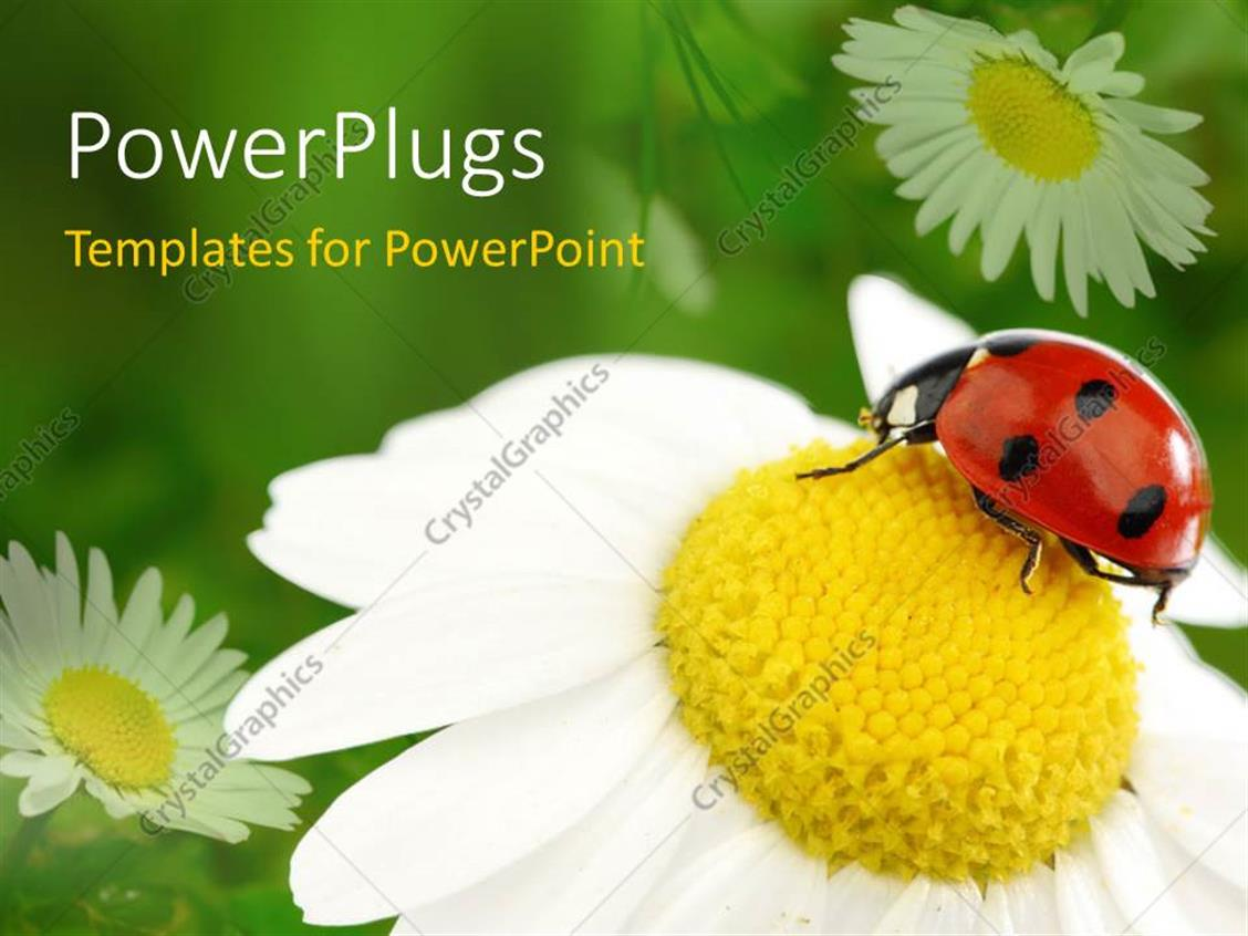 powerpoint template lady bug on white flower with yellow