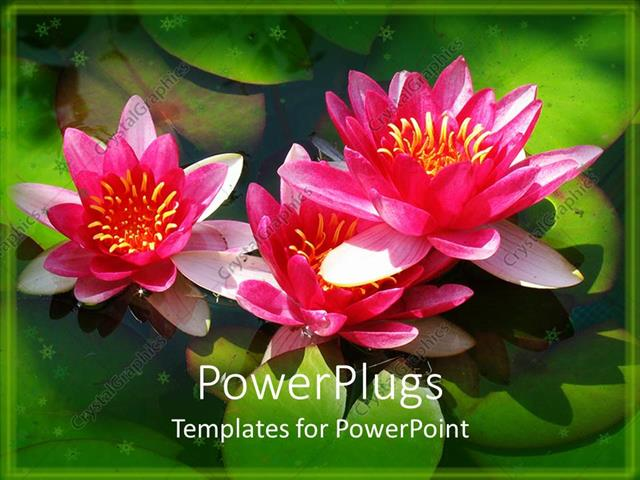 Powerpoint Template Lots Of Green Water Leaves And Three Pink Lotus