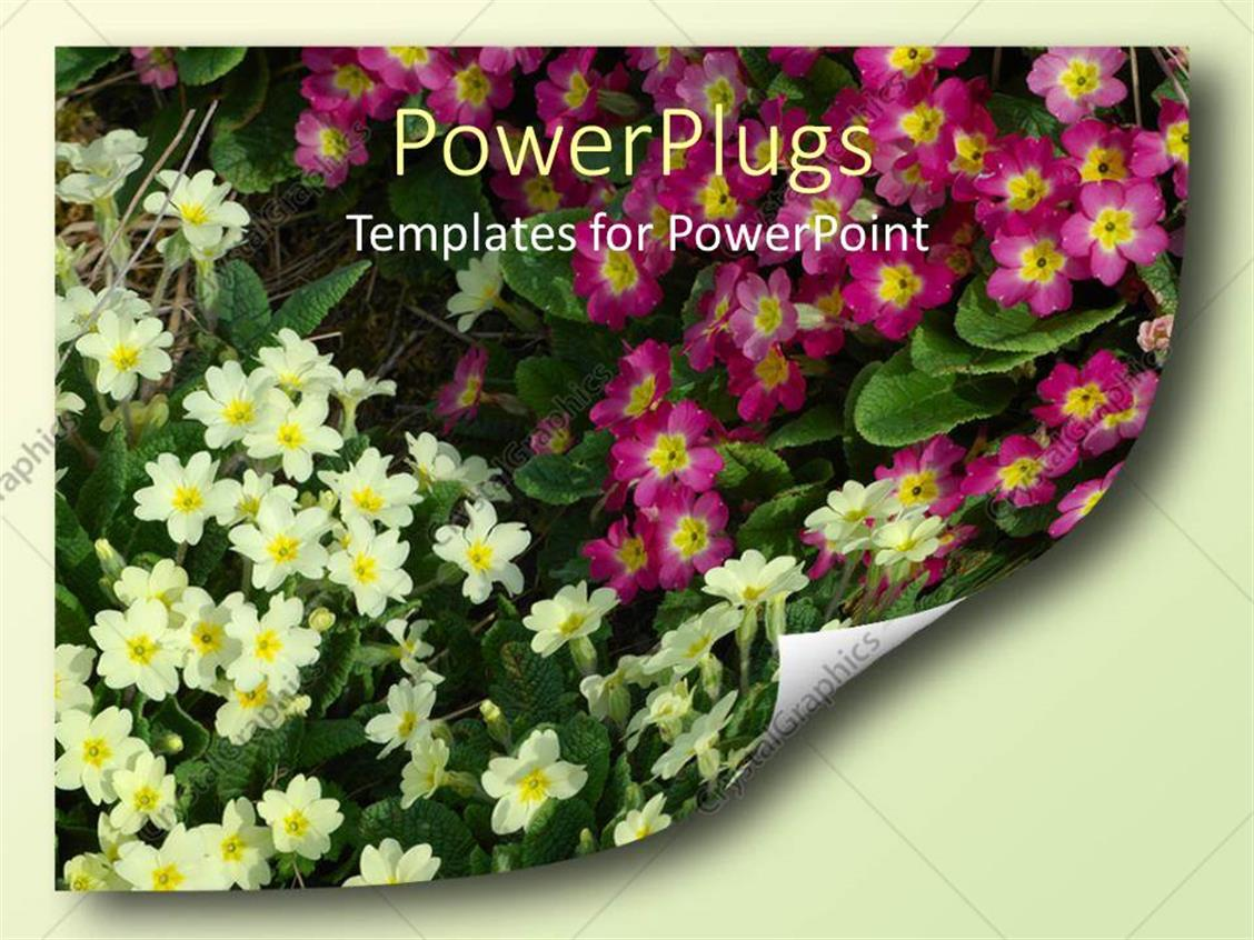 Powerpoint Template Lots Of Pink And White Colored Flowers In A