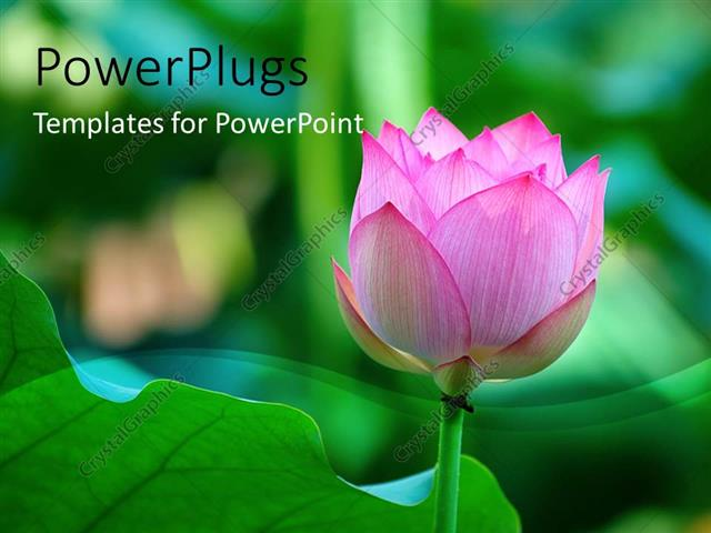 Powerpoint Template Lotus Flower Beside A Green Leaf With Green