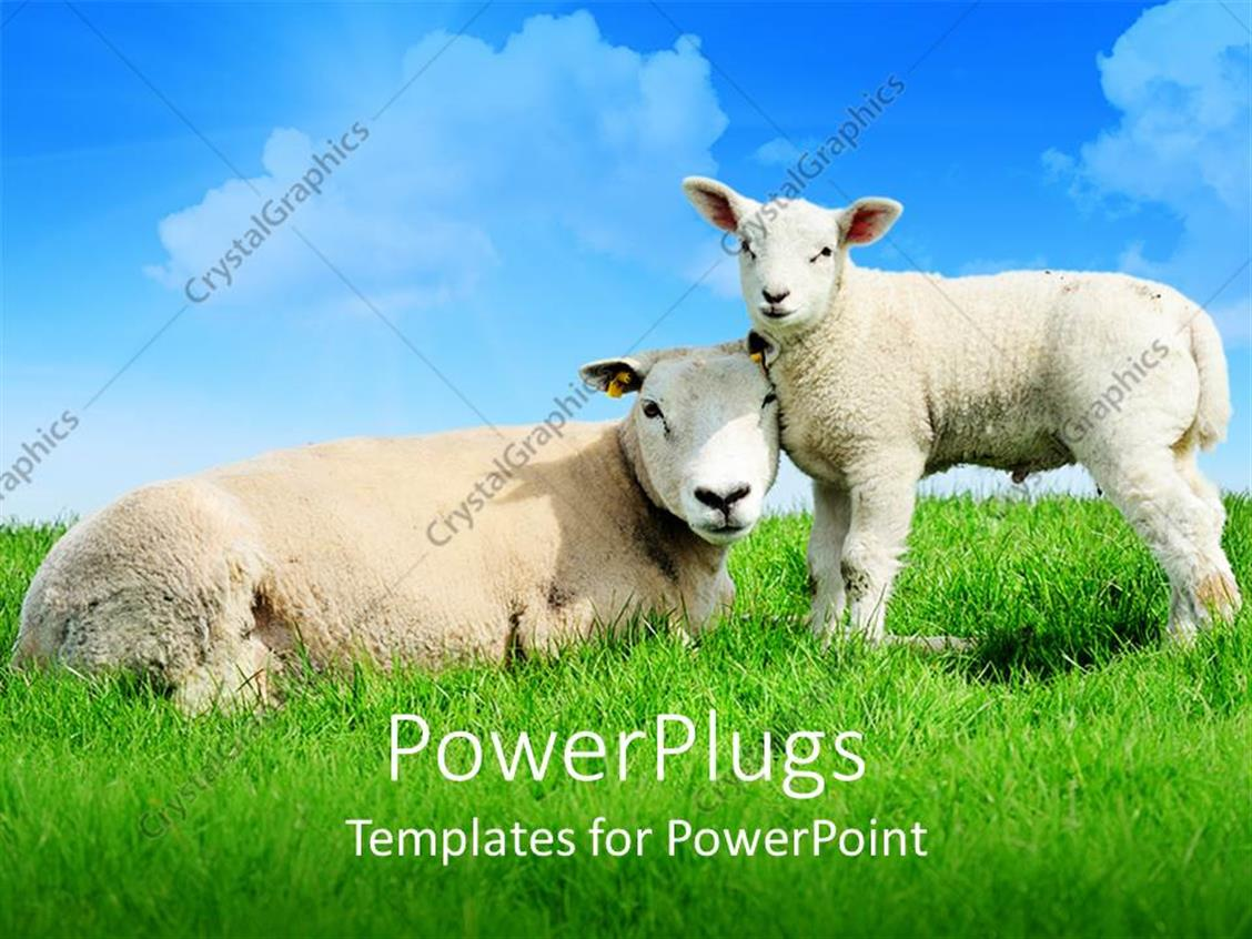 PowerPoint Template Displaying Mother Sheep Lying Next to Standing Lamb