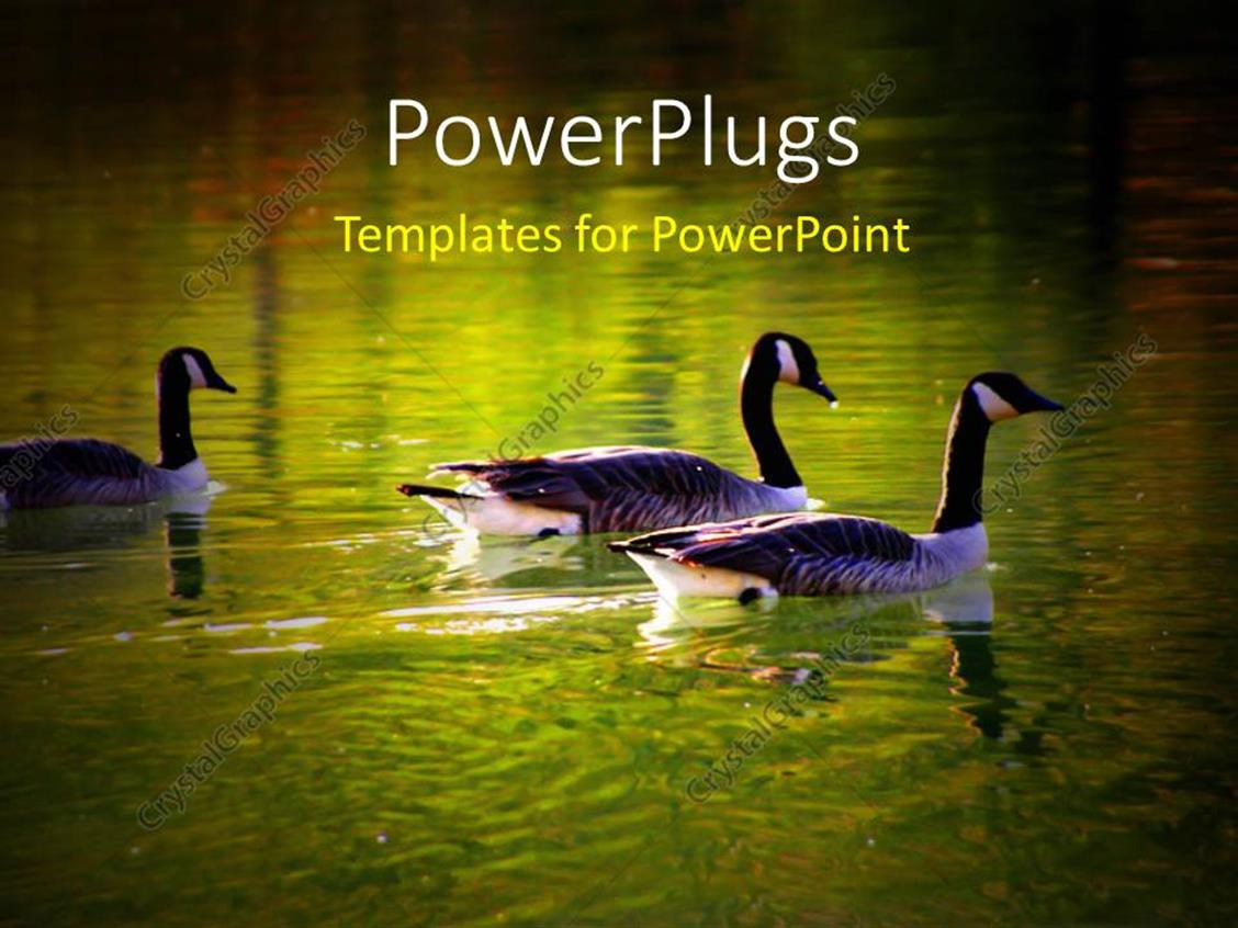 PowerPoint Template Displaying a Number of Ducks in the Lake with Place for Text