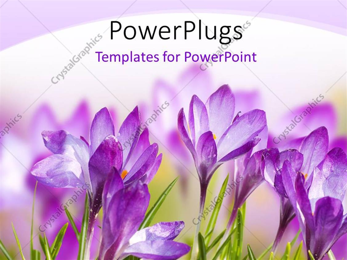 Powerpoint Template A Number Of Purple Flowers With White