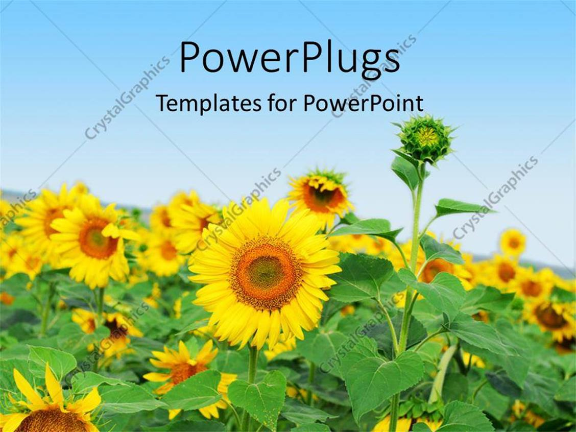 PowerPoint Template Displaying a Number of Sunflowers with  Sky in the Background