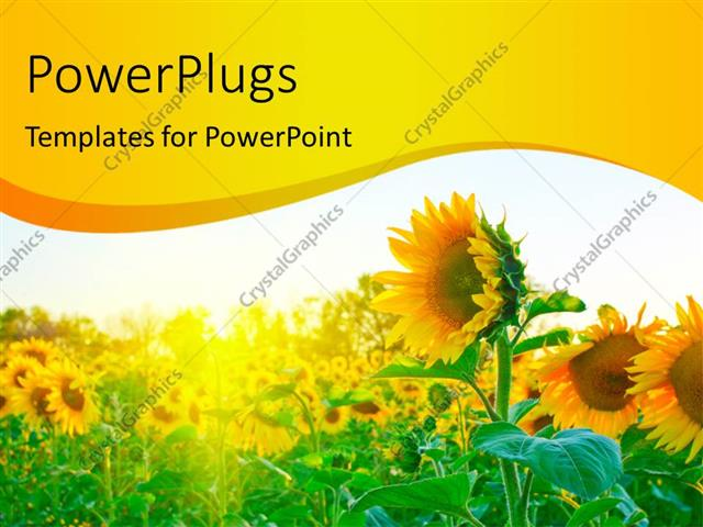 PowerPoint Template Displaying a Number of Sunflowers with a White Background