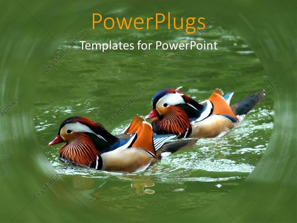 PowerPoint Template Displaying a Pair of Wood Ducks Enjoying in the Lake