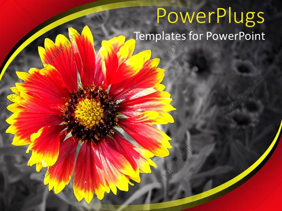 Powerpoint Template Pretty Red And Yellow Flower On A Black And