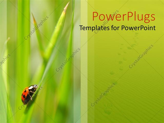 Powerpoint Template Small Ladybird Insect Of A Blade Of Green Grass