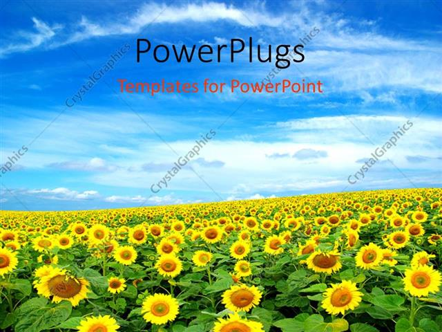 PowerPoint Template: a sunflower farm with clouds in the blue sky ...