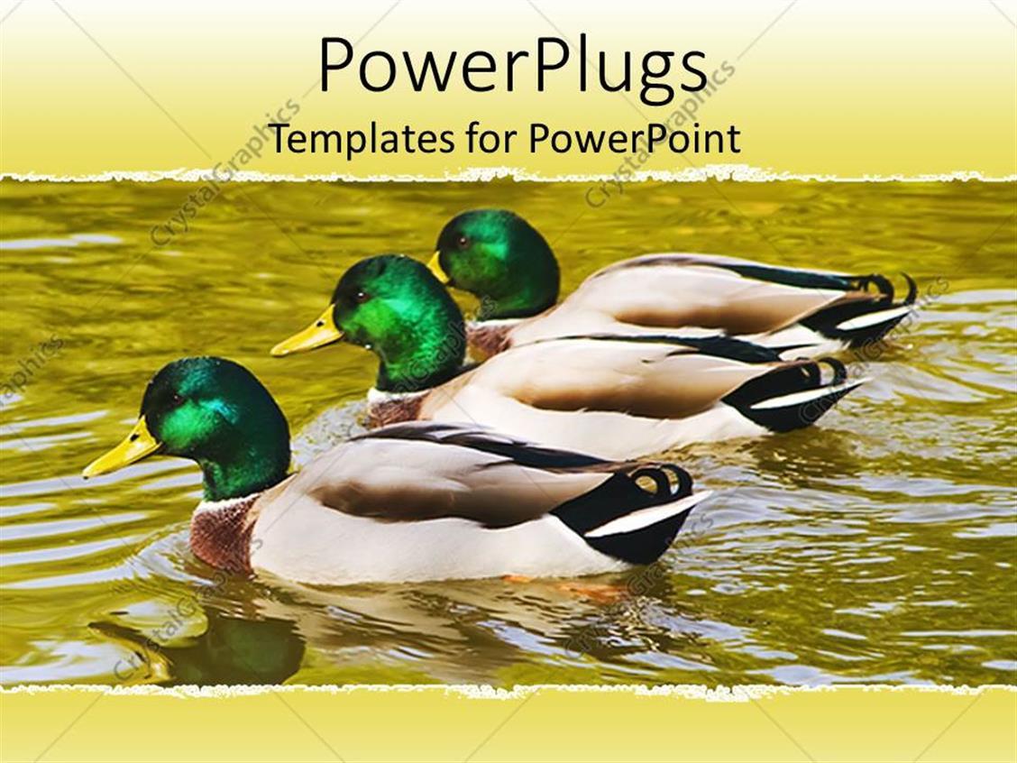 PowerPoint Template Displaying Three Mallard Ducks Floating on Pond