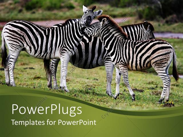 Powerpoint template three zebras snuggling on african grassy plain powerpoint template displaying three zebras snuggling on african grassy plain toneelgroepblik Image collections