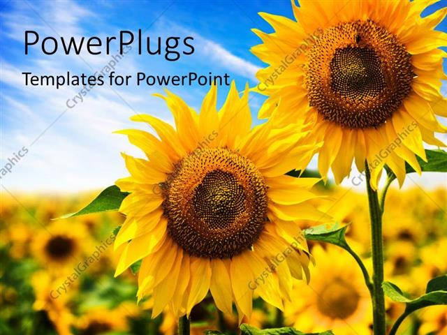 PowerPoint Template Displaying Two Beautiful Sunflowers with Others on a Blurry Background
