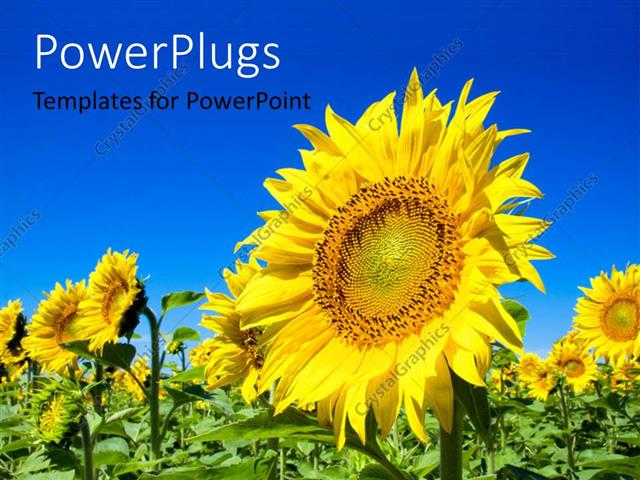 PowerPoint Template Displaying Yellow Sunflower in Green Field with Blue Sky Overhead