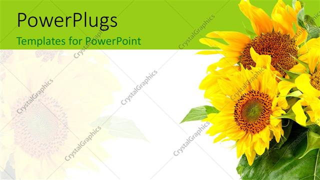 PowerPoint Template: a number of sunflowers with white background ...