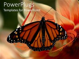 Audience pleasing slide set featuring beautiful butterfly perches on flower to suck nectar