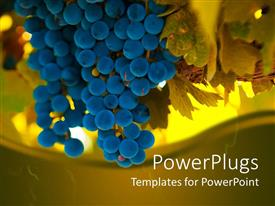 Audience pleasing slide set featuring a beautiful depiction of blue grapes with yellowish trees in the background
