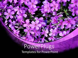 Presentation consisting of a beautiful depiction of violet flowers in a pot with dark background