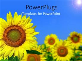 Beautiful slide deck with beautiful field of sunflower with light glow in blue sky