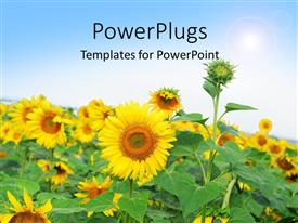 Presentation theme featuring beautiful field of sunflower with sunshine over field